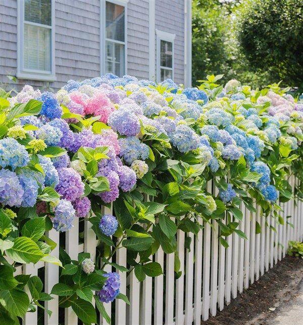Colorful Hydrangeas for Your Balcony