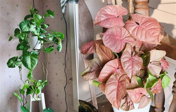 Arrowhead Plant (Syngonium Podophyllum): Care and Growing Guide