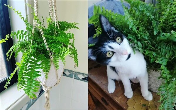 Boston Fern Plant (Nephrolepis Exaltata): Care and Growing Guide
