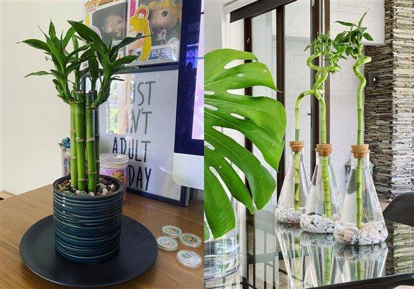 Lucky Bamboo (Dracaena Sanderiana): Care and Growing Guide