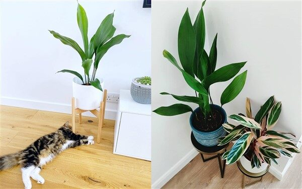 Cast Iron Plant (Aspidistra Elatior): Care and Growing Guide