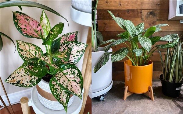 Chinese Evergreen (Aglaonema): Care and Growing Guide