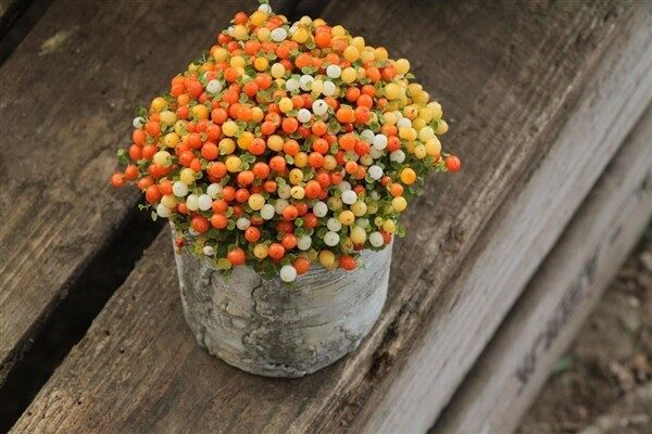 Coral Bead Plant (Nertera Granadensis): Care and Growing Guide