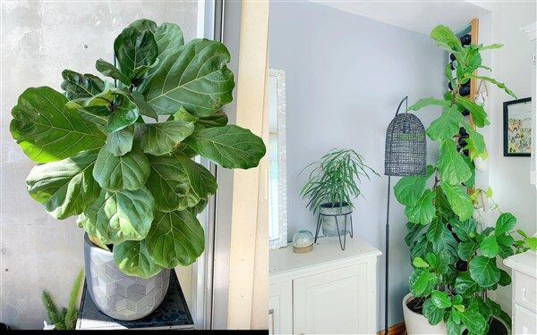 Fiddle Leaf Fig (Ficus lyrata): Care and Growing Guide