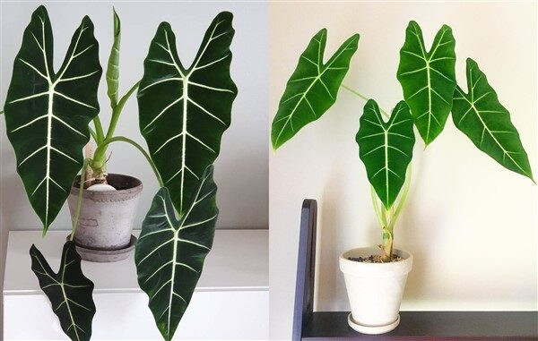 Green Velvet Alocasia: Care and Growing Guide