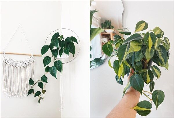 Heartleaf Philodendron (Philodendron hederaceum): Care and Growing Guide