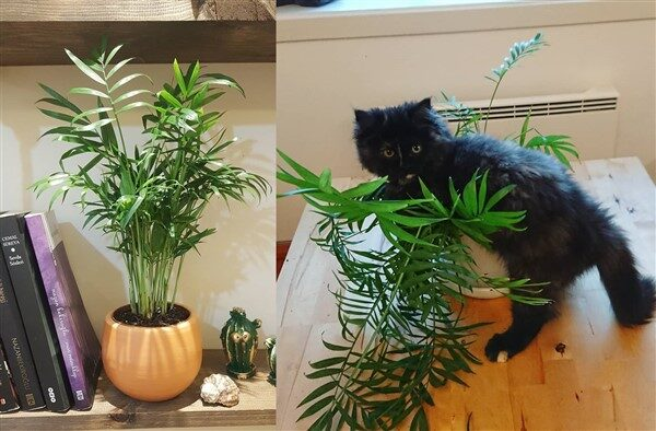 Parlor Palm (Chamaedorea elegans): Care and Growing Guide