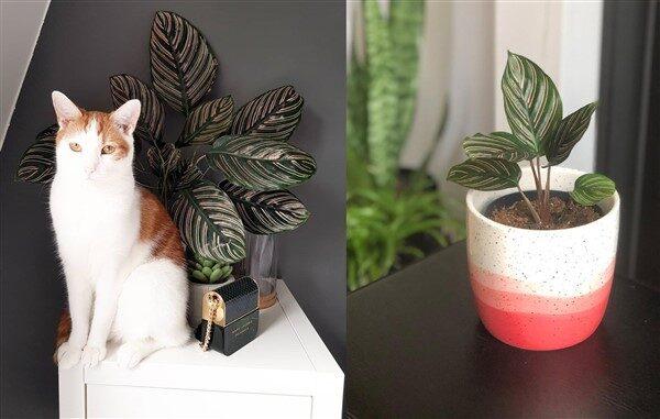 Pin Stripe Calathea (Calathea Ornata): Care and Growing Guide