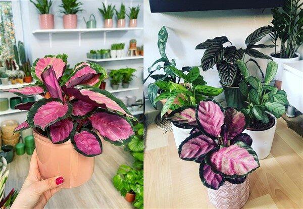 Rose Painted Calathea (Calathea Roseopicta): Care and Growing Guide