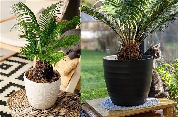 Sago Palm (Cycas Revoluta): Care and Growing Guide