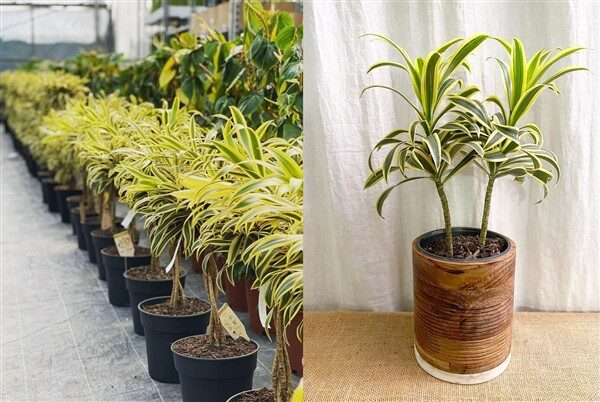 Song of India plant (Dracaena reflexa): Care and Growing Guide