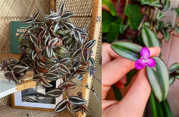 Wandering jew / inch Plant (Tradescantia zebrina): Care and Growing Guide