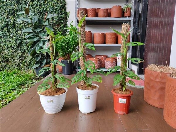 DIY Moss Pole: A Helpful Way of Keeping Houseplants Fresh