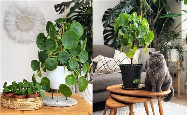 Chinese Money Plant (Pilea peperomioides): Care and Growing Guide