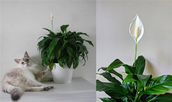 Peace Lily (Spathiphyllum): Care and Growing Guide