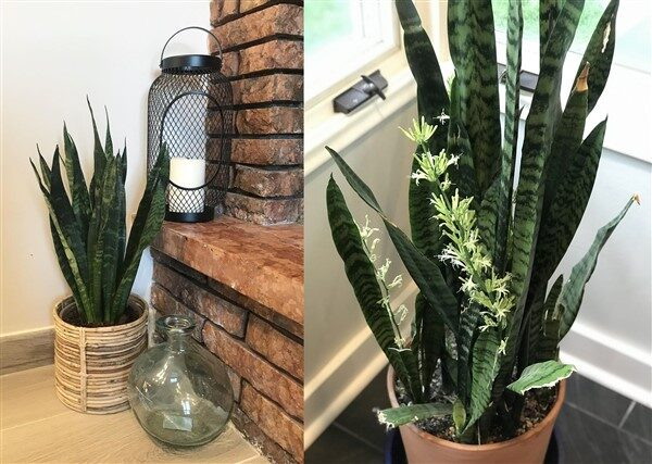 Sansevieria Black Coral (Snake Plant): Care and Growing Guide