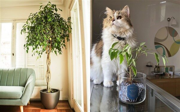 Weeping Fig (Ficus benjamina): Care and Growing Guide