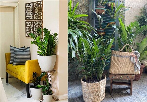 Zz Plant (Zamioculcas): Care and Growing Guide