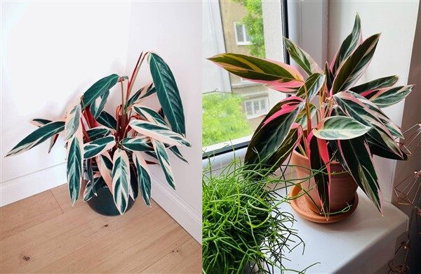 Stromanthe Triostar: Care and Growing Guide