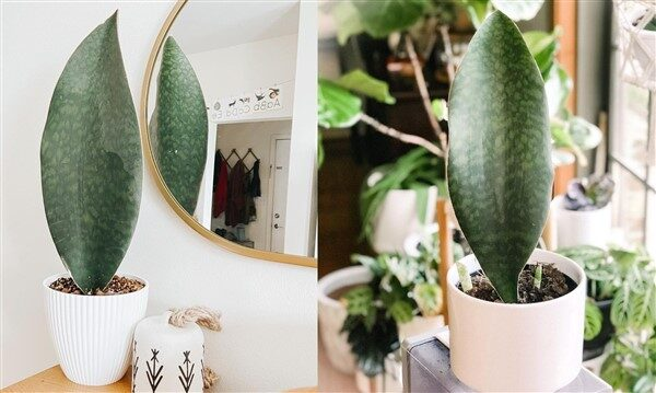 Whale Fin Snake Plant (Sansevieria Masoniana Victoria): Care and Growing Guide