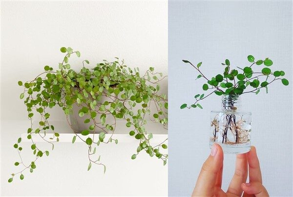 Creeping Wire Vine (Muehlenbeckia axillaris): Care and Growing Guide