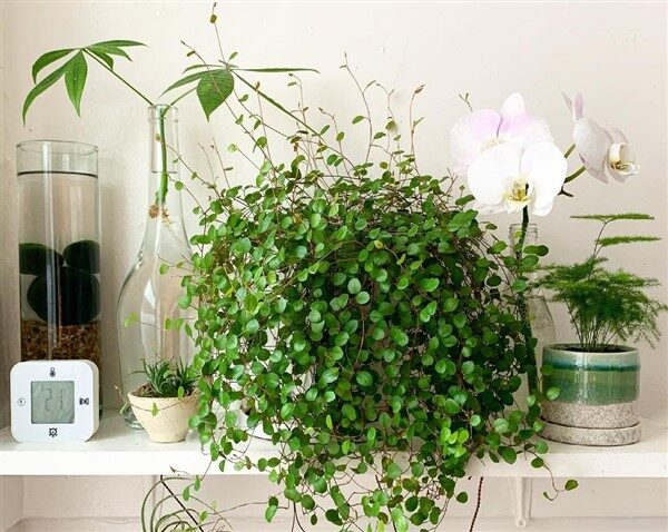 Maidenhair Vine (Muehlenbeckia complexa): Care and Growing Guide