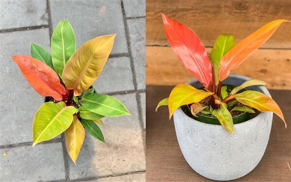 Philodendron Prince of Orange: Care and Growing Guide
